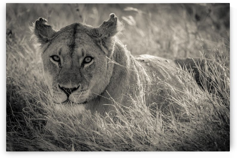 Lioness in the sun by JADUPONT PHOTO