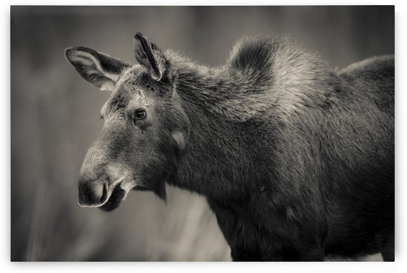 Young Moose by JADUPONT PHOTO