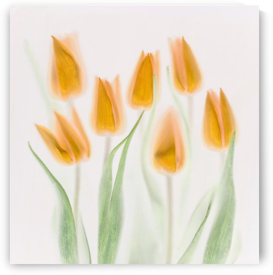 Golden Tulips by 1x