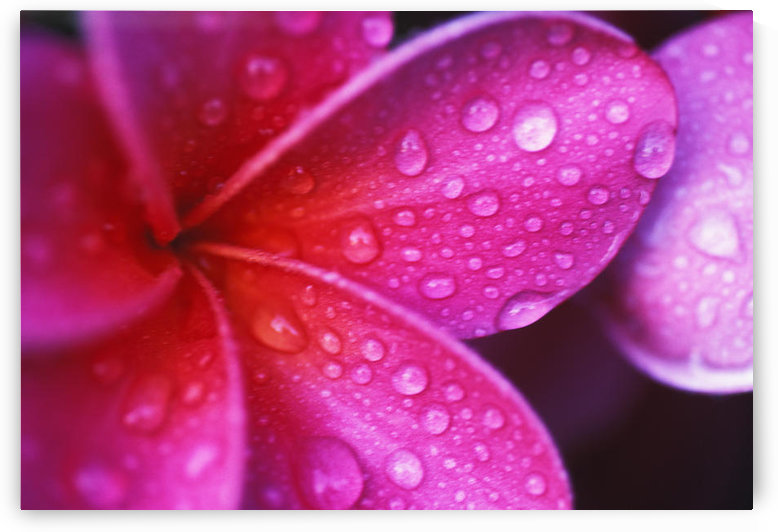 Hawaii, Maui, Extreme Close-Up Purple Pink Plumeria Blossom Water Droplets Aka Frangipani by PacificStock